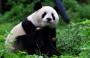 习作:国宝大熊猫(优质教案)